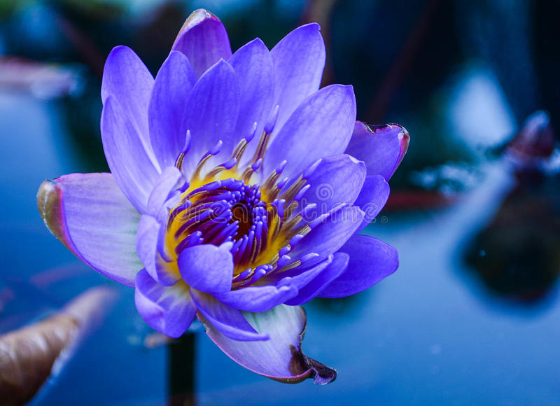 Purple Water Lily. Beautiful purple water lilly and the reflection of sky in water at dusk royalty free stock photography