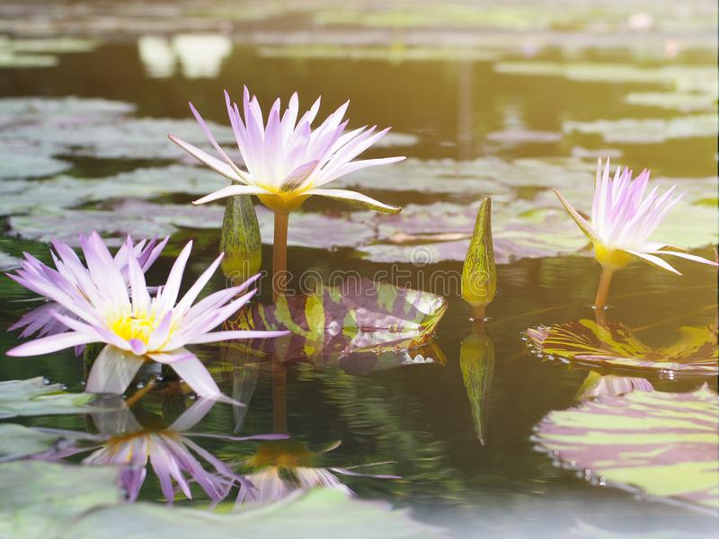 Purple water lily. Beautiful purple water lily and green leaves with reflection in the pond stock images