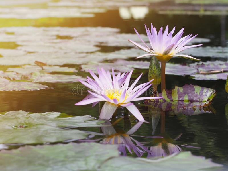 Purple water lily. Beautyiful purple water lily and green leaves with reflection in the pond stock image