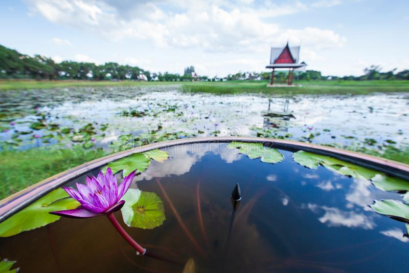 The purple water lily is in bloom on the basin nearby a tropical lake, gazebo is on a lake blurred backgrounds. The purple water lily is in bloom on the basin stock images