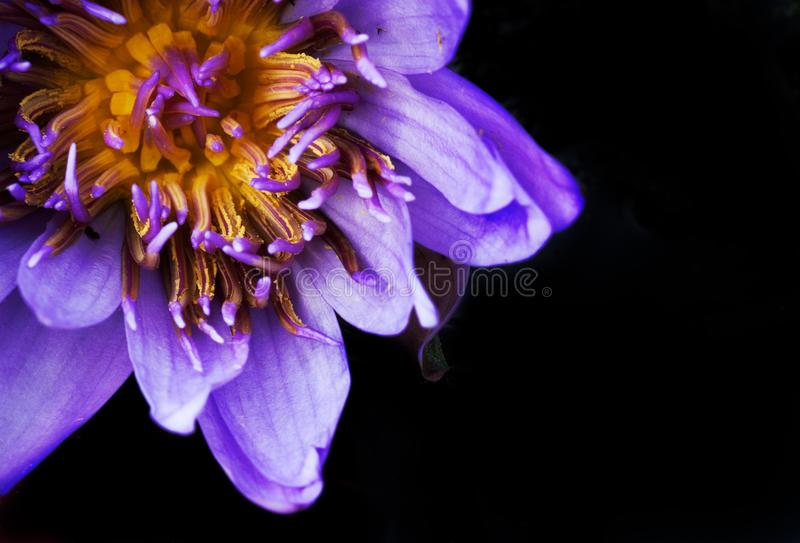 Purple water lily bloom on black background. Purple water lily bloom in a pond, shot in direct light creating a black background royalty free stock photo