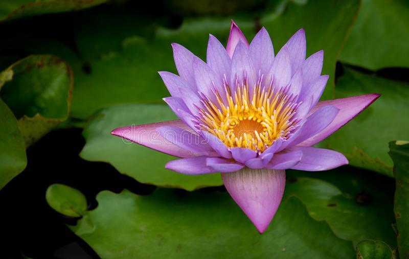 Purple water lily bloom. Water lily bloom in a pond in Singapore stock photo