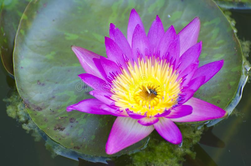 Purple Water lily Blooming on the Water with Leaf. Lotus stock photo