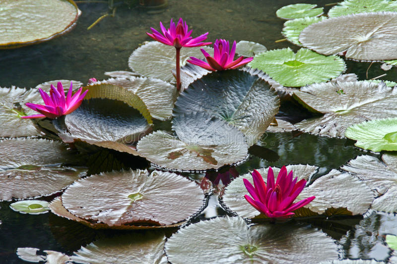 Purple Water-Lilies. Blooming water lilies in a pond royalty free stock images