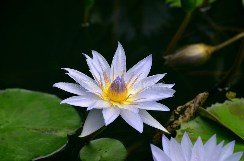 Purple Water Lily Blooming in a Water Garden. Blooming purple water lily in a garden with lily pads stock image