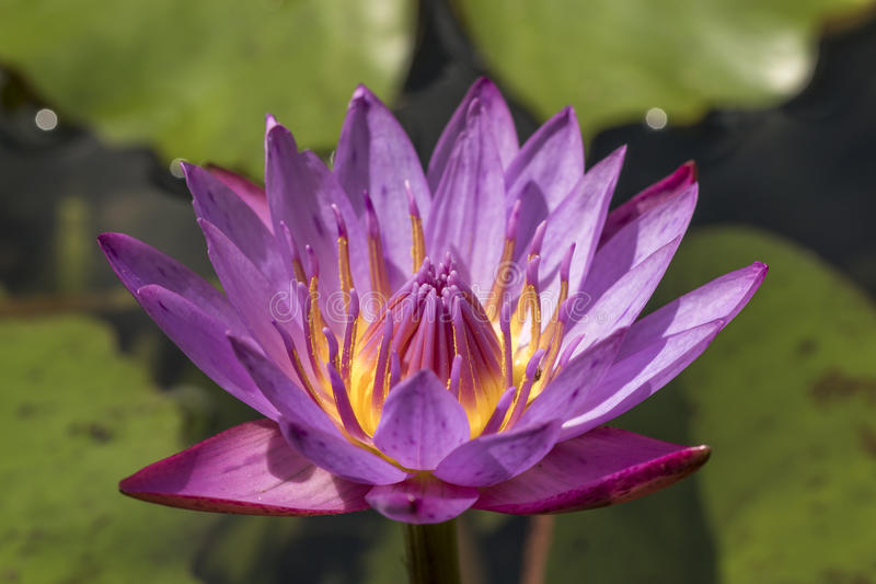 Purple water lily or blue star lotus with yellow and green background close up detail front view. Nymphaea nouchali macro horizontal stock photography