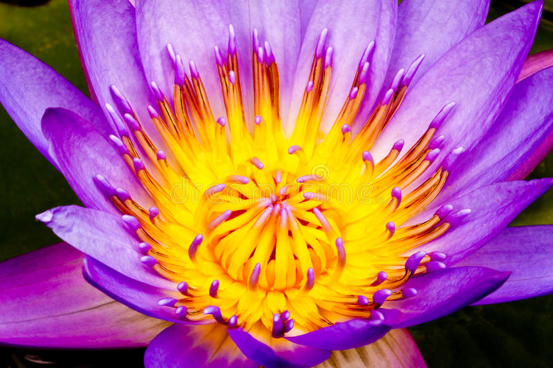 Purple water lily, closeup. Close up of purple water lily royalty free stock photo