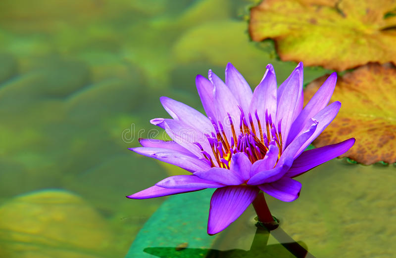 Purple water lily. Colorful purple water lily in a tropical pond stock images