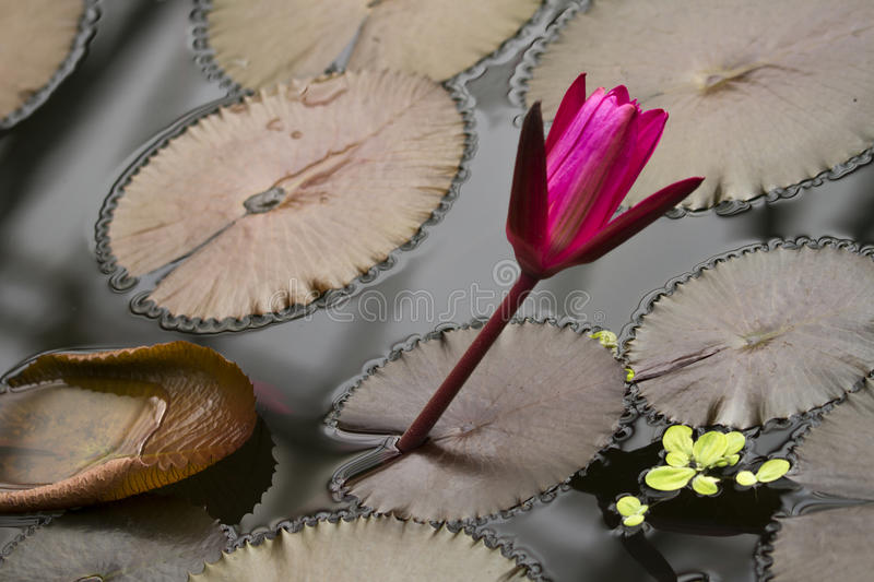 Purple water lily. A deep purple water lily on a grey pond stock photography