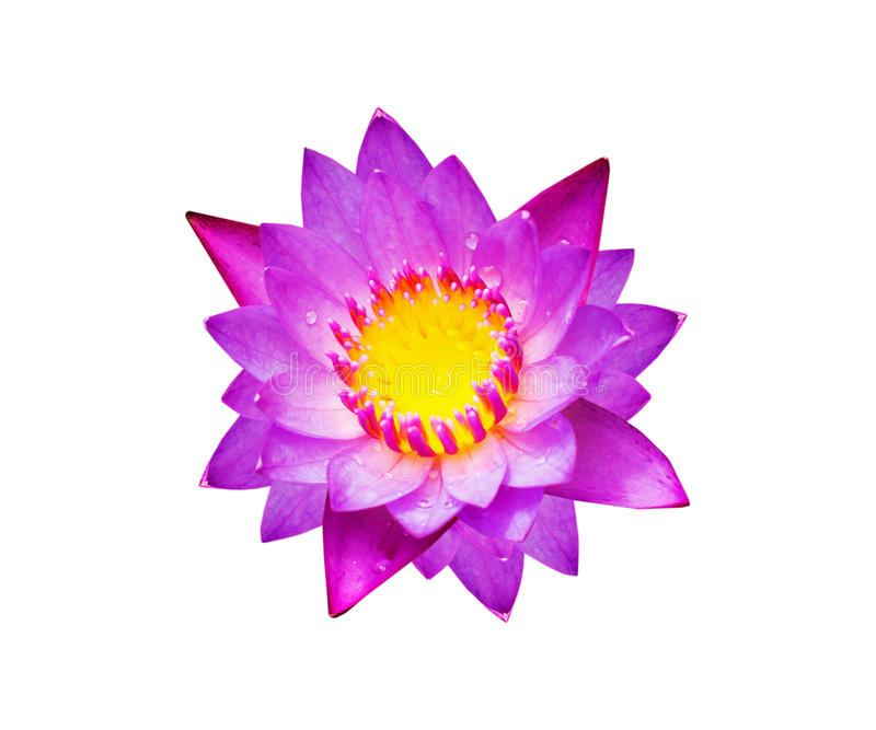 Purple water lily flower lotus isolate stock photos