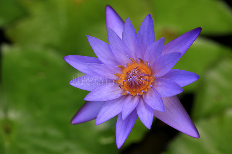 Purple Water Lily Flower. Purple water lily in the pond royalty free stock images