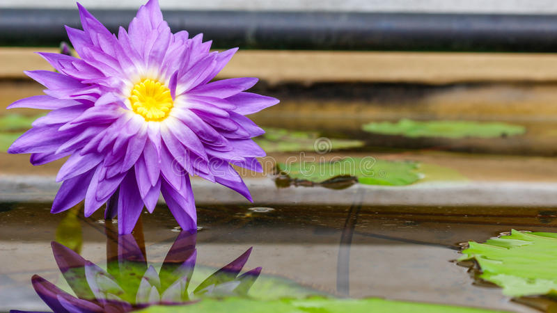 Purple water lily. Purple lily flower with reflection royalty free stock photography