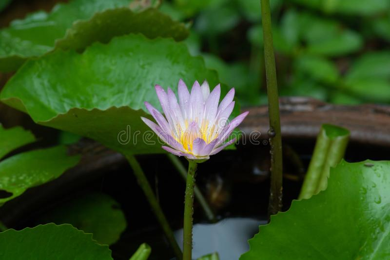 Purple water lily with fresh green leaves in the pot royalty free stock photo
