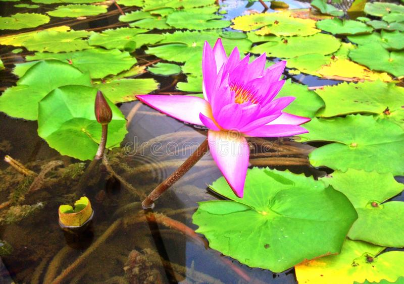 Purple water lily. In full bloom in a freshwater pond in Singapore stock images