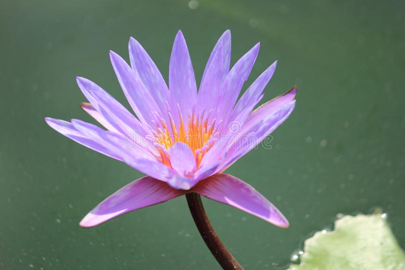 Purple water lily. In garden royalty free stock image