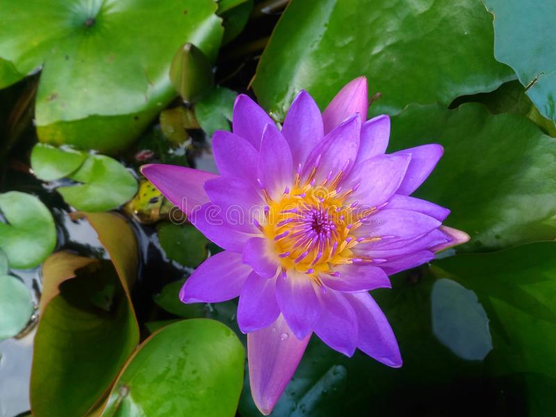 Purple water lily in green foliage, lotus blooms in lilac color, orange core of the flower, water lily bloom in the wild. Purple lotus, waterlily flower, water royalty free stock photography