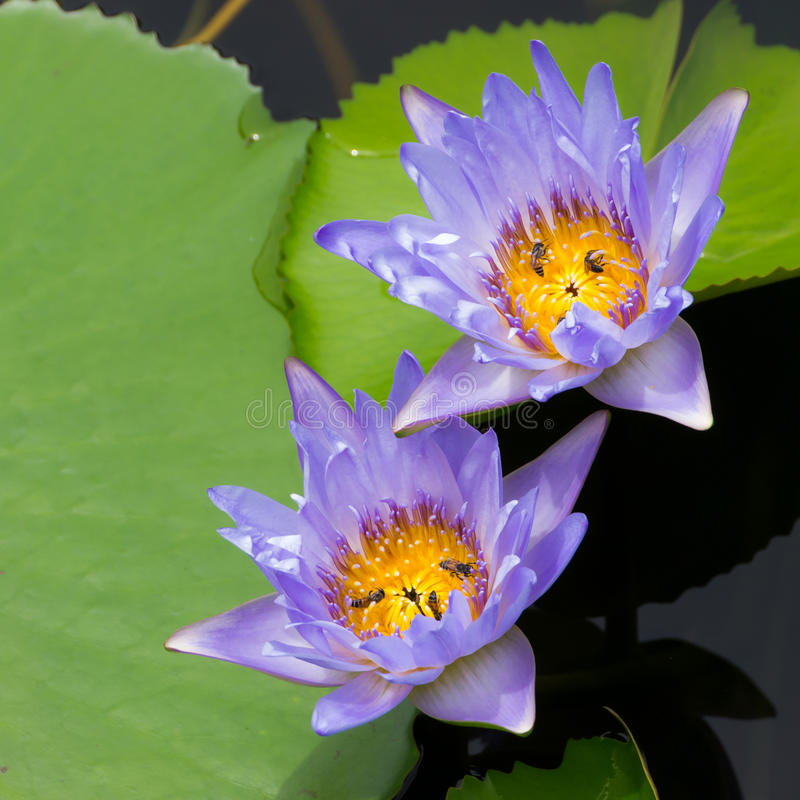 Purple water lily. Water lily and green leaf in natural pond stock photos