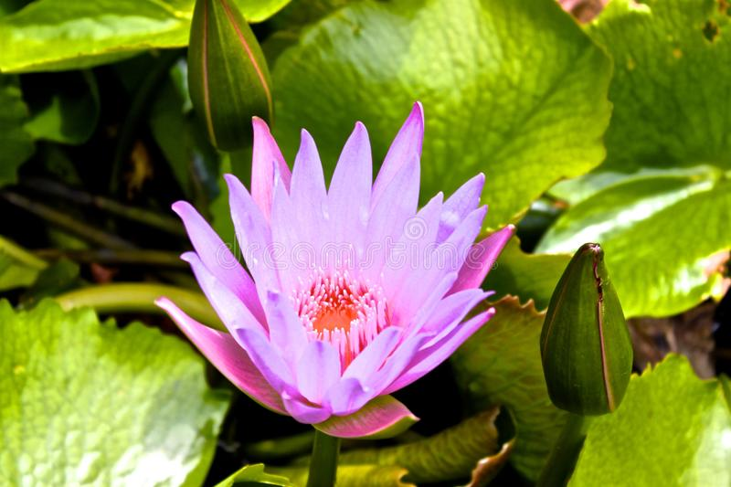 Purple Water Lily Hawaii. Purple water lily in botanical garden in Kawaii, Hawaii. Green leafy background stock photo