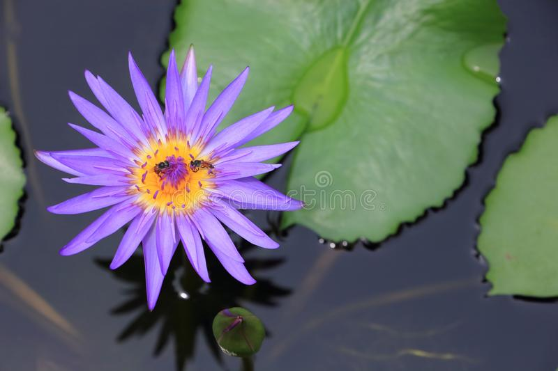 Purple water lily with leaf, lotus flower on pond royalty free stock photos