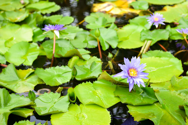 Purple water lily. With leaf lotus in pond royalty free stock image
