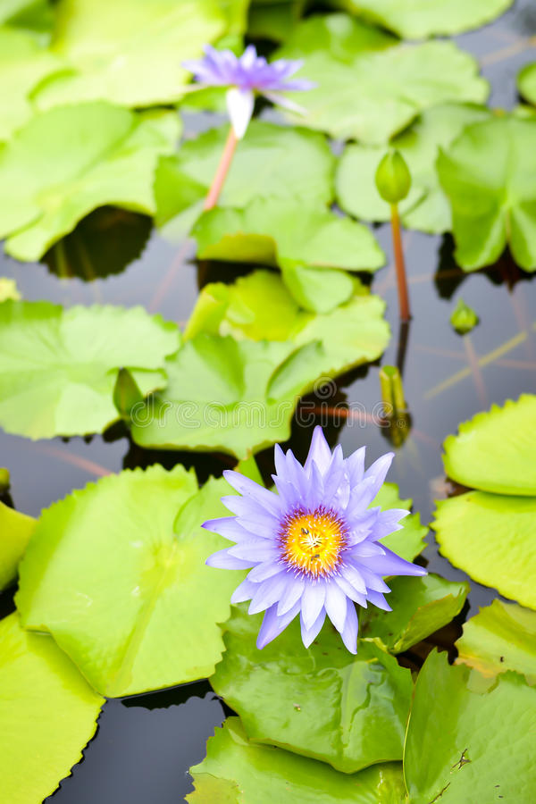 Purple water lily. With leaf lotus in pond stock photo
