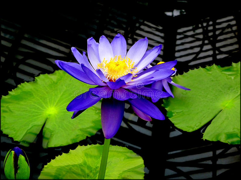Purple Water Lily. And leaves with geometric patterned background stock image