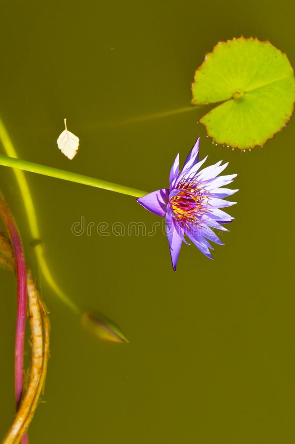 Purple Water Lily with Lily Pads. And green water stock photo
