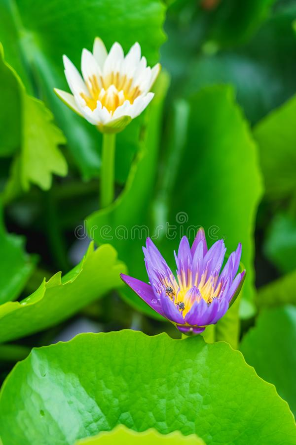 Purple water lily or lotus flower in pond stock photo