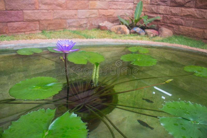 Purple water lily lotus and leaf in pond stock photos