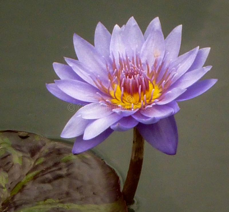 Purple water lily and pod in water stock images