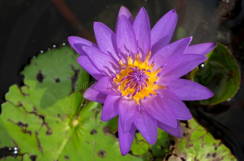 Purple water lily. A purple water lily bloom in Chiang Mai Thailand stock images