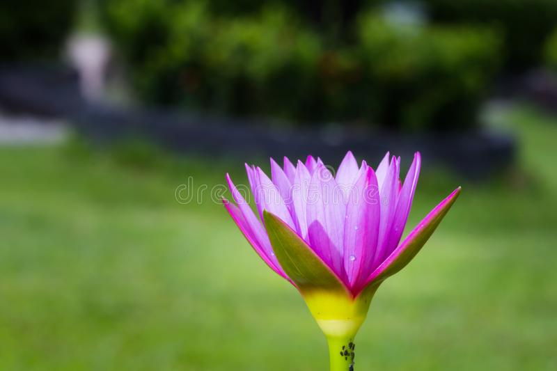 Purple water lily. Flower blooming in backyard royalty free stock images