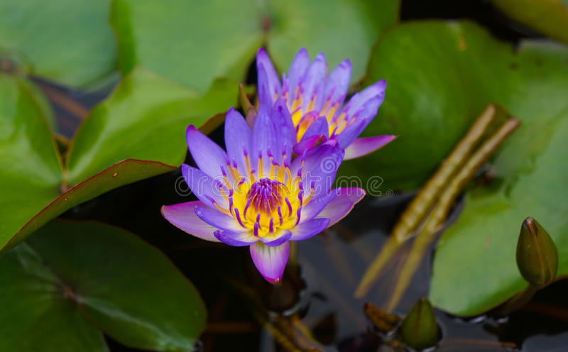 Two Purple Water Lilies. Shade of purple to violet water lily is beautifully accented against the deep green of the lily pad leaves stock photo