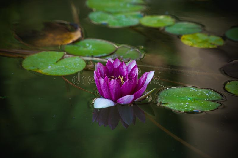 Purple water lily in small pond stock photos