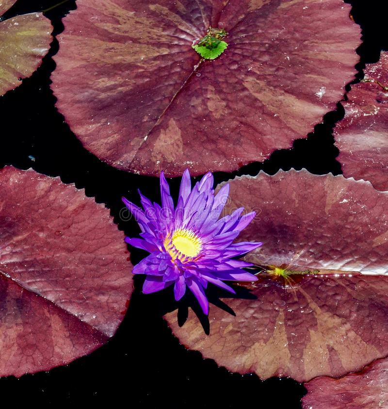 Purple Water Lily. This is a summer picture of a purple water Lily in the Chicago Botanical Gardens located in Glencoe, Illinois in Cook County.  This picture stock images