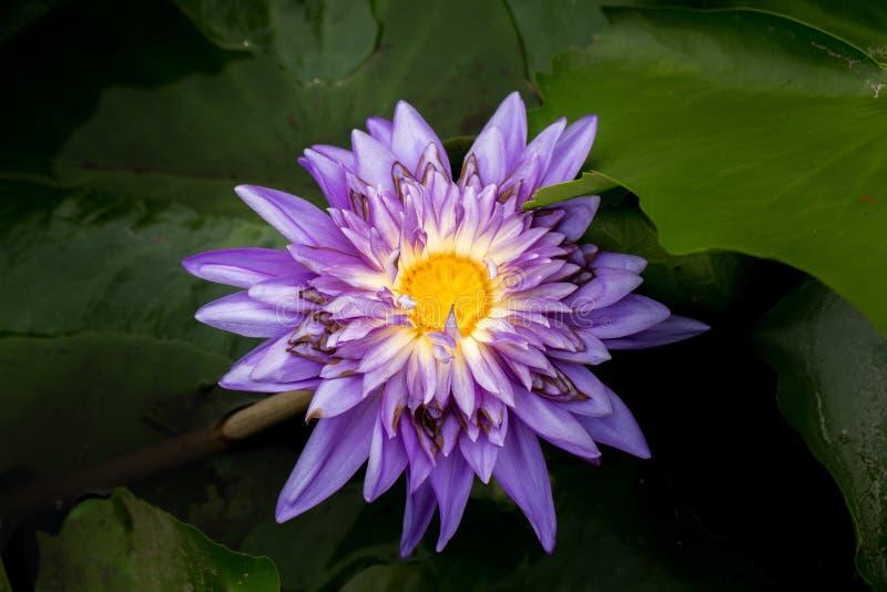 Wanter, Flower, Close Up, Plant, Purple, Purple Lily, Purple Teichrose, Purple Flower, Violet, Purple Water Lily. Purple Water Lily Water Flower Water Lily stock photo