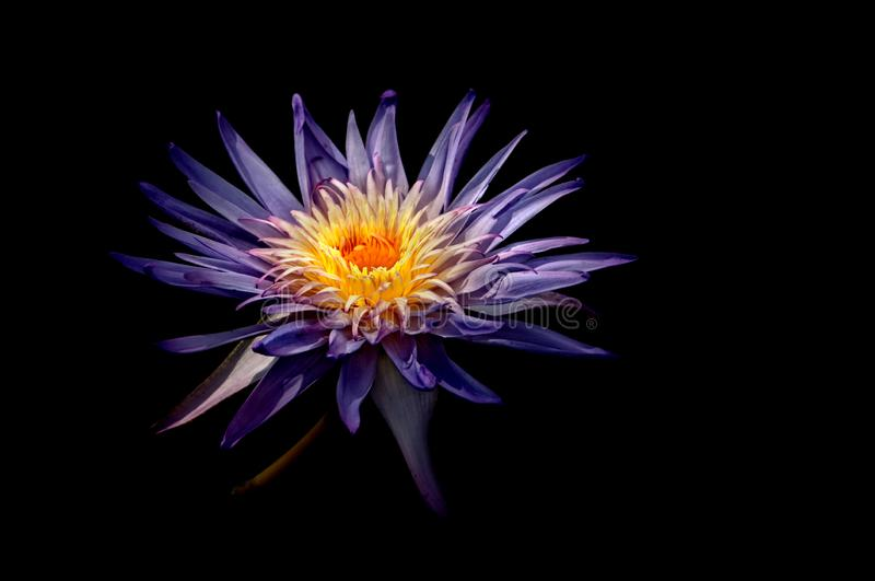 A purple water lily with a yellow and orange center. A purple water lily with a yellow and orange center, spotlighted by the sun on a black background stock images