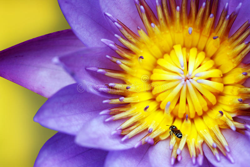 Purple water lily with yellow stamens and honeybee. Purple colored water lily closeup showing yellow stamens and honeybee searching for nectar royalty free stock photos