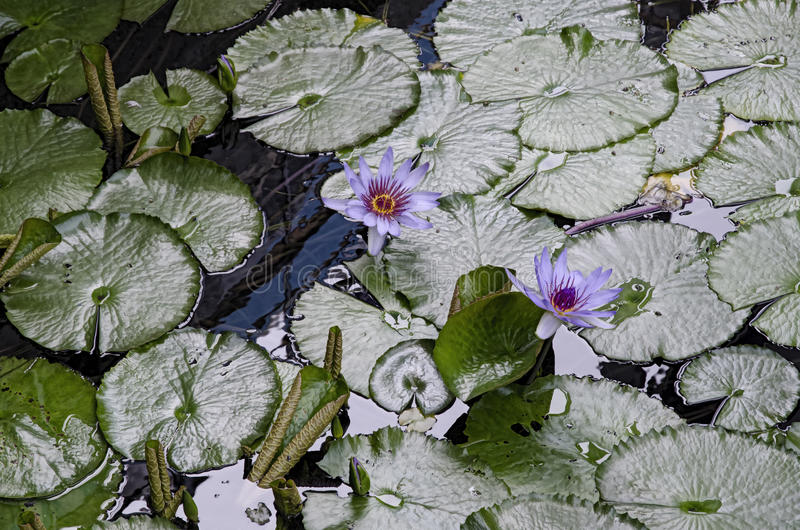 Purple Waterlilies in bloom stock photos
