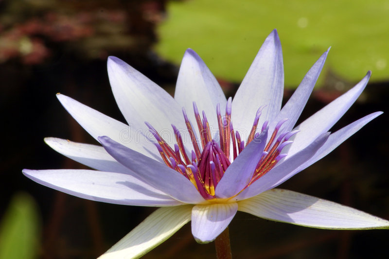 Purple waterlily royalty free stock photo