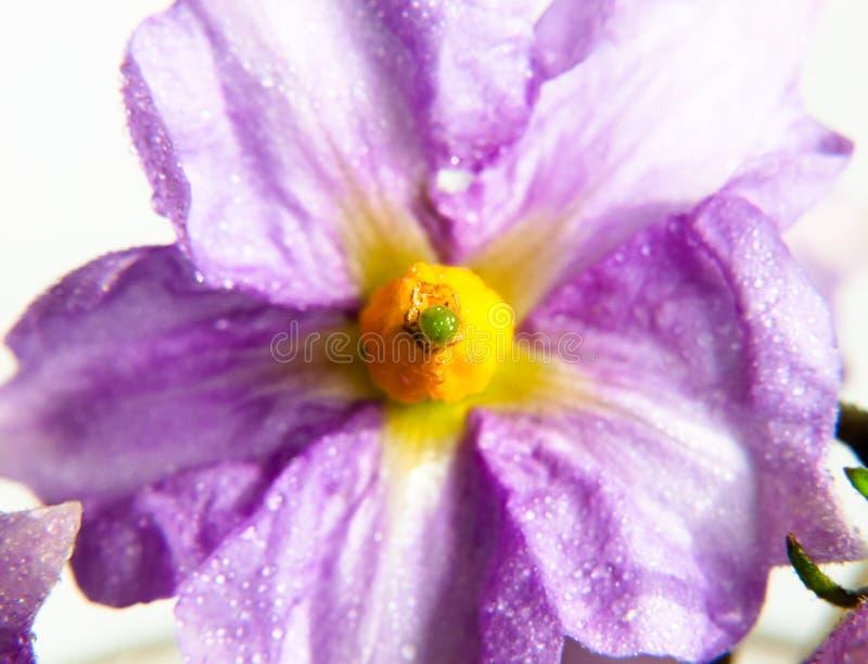 Purple weinig mooie bloem met geel centrum omhoog dicht water DE stock foto's