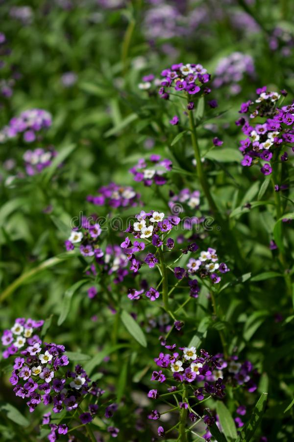 Purple and and white alyssum flowers royalty free stock image