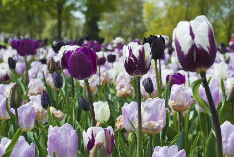 Purple and white blooming tulips royalty free stock photo