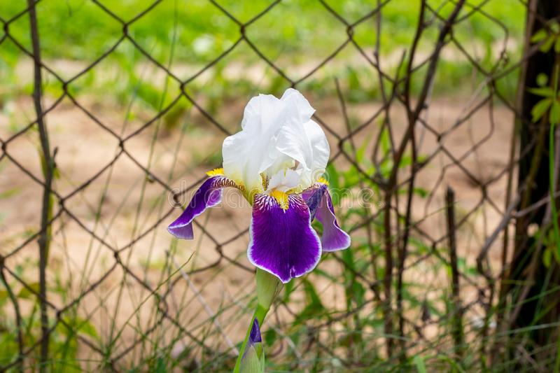 Purple, white, blue and violet blooming Iris xiphium Bulbous iris, sibirica on green leaves ang grass background in the garden. In spring and summer stock image