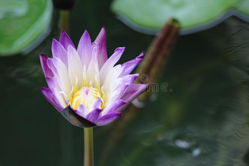 Purple with white centre water lily royalty free stock photo