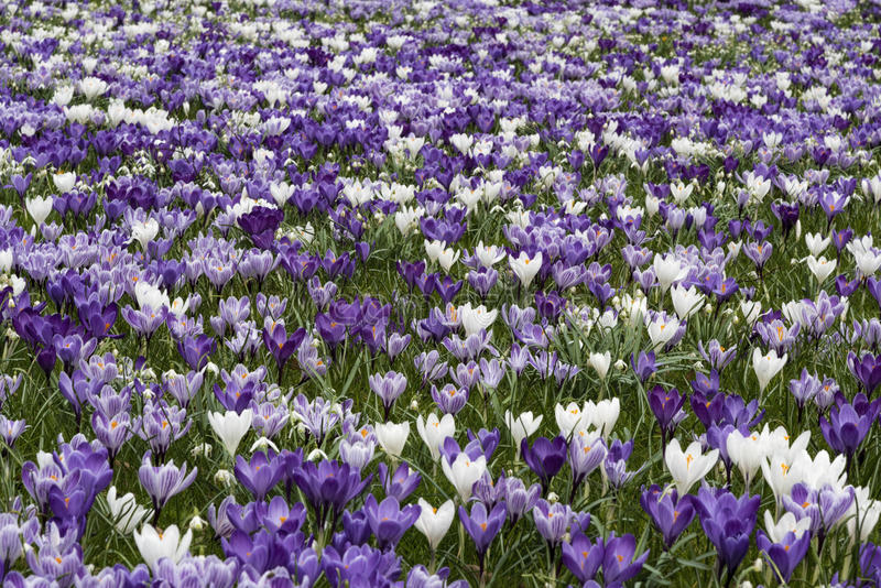 Purple white crocus royalty free stock image