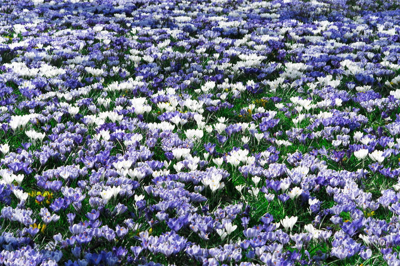 Purple and white crocus flowers royalty free stock image