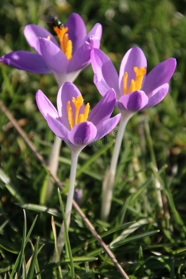 Purple and white crocus flowers just came out of the bulb on the end of the winter in 2019 in Bergschenhoek, the Netherlands. Purple and white crocus flowers royalty free stock photography