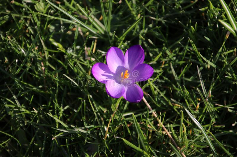 Purple and white crocus flowers just came out of the bulb on the end of the winter in 2019 in Bergschenhoek, the Netherlands. Purple and white crocus flowers stock photography