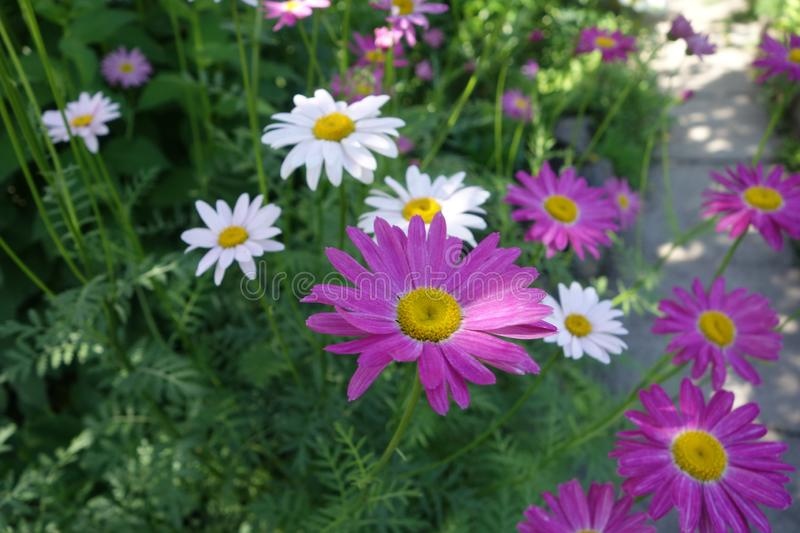 Purple and white daisies royalty free stock photo